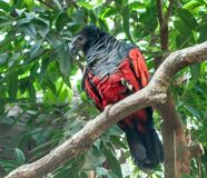 Pesquet`s parrot, Psittrichas fulgidus, with red wings and black neck and tail, sitting on the branches of a tree. With green color of the foliage in the royalty free stock images