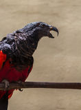 Pesquet's parrot. Sitting on a bough and cry royalty free stock image