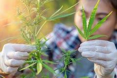A pesquisa do cannabis, cultivo do cannabis sativa, planta de florescência como uma droga medicinal legal, erva da marijuana do c fotografia de stock