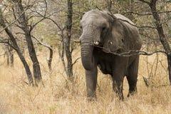 Pesquisa nova do elefante Fotos de Stock