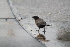 Pesquisa pequena do pássaro Fotografia de Stock Royalty Free