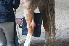 Pesquisa veterinária dos cavalos com raio X em um cavalo aleijado o cavalo pode já não andar foto de stock