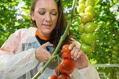 Pesquisador fêmea novo que escolhe tomates maduros com tesoura de poda fotos de stock royalty free