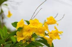 A pessoa idosa amarela floresce a flor nas árvores foto de stock royalty free