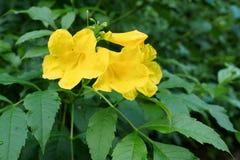 A pessoa idosa amarela, os sinos amarelos, ou a videira de trombeta florescem Foto de Stock Royalty Free