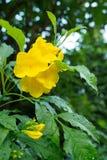A pessoa idosa amarela, os sinos amarelos, ou a videira de trombeta florescem [Nome científico: Stans de Tecoma] Fotos de Stock Royalty Free