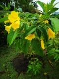 Pessoa idosa amarela, Trumpetbush, Trumpetflower, trombeta-flor amarela, ‹amarelo do trumpetbush†imagem de stock royalty free
