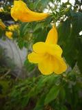 Pessoa idosa amarela, Trumpetbush, Trumpetflower, trombeta-flor amarela, trumpetbush amarelo fotografia de stock