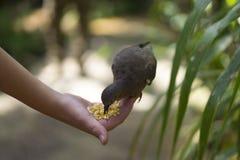 Pessoa que alimenta um pássaro selvagem à mão Imagem de Stock Royalty Free