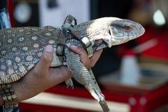 Pessoa que guarda um lagarto com trela foto de stock royalty free