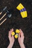 Pessoa que planta flores verdes bonitas no solo e ferramentas de jardinagem pequenas com potenciômetros de flor Fotos de Stock Royalty Free