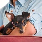 Pessoa que prende um pincher do filhote de cachorro Imagens de Stock Royalty Free