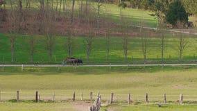 Pessoa que shepherding três cavalos, cão para encerrar, dia de mola vídeos de arquivo