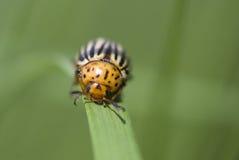Pest. Danger pest, macro potato beetle royalty free stock photos