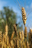 Pest in barley field. Pest eating grain in the barley field Stock Image
