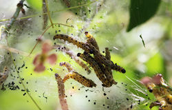 Pest caterpillar silk Hyponomeuta malinella Stock Photography