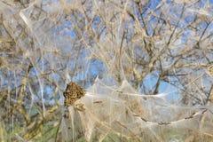 Pest caterpillars wrap whole bush Royalty Free Stock Images