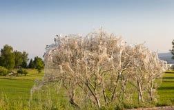 Pest caterpillars wrap whole bush Royalty Free Stock Photos