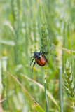 Pest of cereal crops. Closeup of a pest of young cereal crops Royalty Free Stock Photo