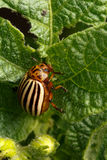 Pest. Colorado beetle, devouring leaves of potato Stock Photo