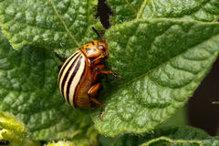 Pest. Colorado beetle, devouring leaves of potato Stock Images