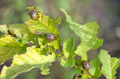 Pest - Colorado potato beetle. The Colorado beetle, lat. Leptinotarsa decemlineata, feed on potato leaves stock photography