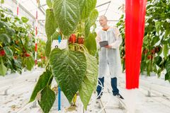 Pest control in a greenhouse stock photography