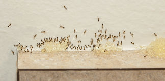 Pest Control - Sugar Ants Eating Bait Stock Photo