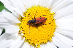 Pest on a Daisy Flower Stock Photo