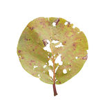 Pest Damaged Leaf With Holes Royalty Free Stock Images