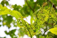 Pest eaten leaf Stock Photography