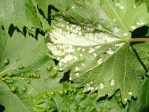 Pest of grape vine tick, fitoptus. Stock Photography