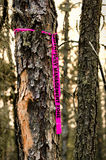 Pest management ribbon tied to a tree infected with mountain pine beetle.  Royalty Free Stock Photo