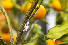 Pest mealybug closeup on the citrus tree Royalty Free Stock Photos
