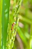 Pest,  in Paddy rice field Stock Photos