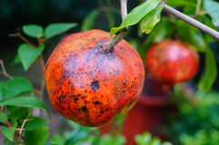 The pest of pomegranate fruit Royalty Free Stock Images