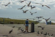 Pest seagulls. Nuisance gulls stealing chips off a girl at the beach Royalty Free Stock Photo