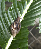 Pest or Snail. Close Up of Pest or Snail on a green leaf Royalty Free Stock Image