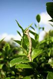Pest in tea garden. Stock Photography
