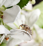 Pest weevil sitting on petal Stock Photos