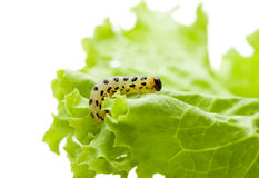 Pest yellow caterpillar on lettuce Royalty Free Stock Images