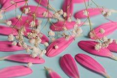 Pestals rosados del gerbera en backgrond azul con las flores blancas foto de archivo
