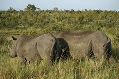 Peste della mosca sul rinoceronte Fotografia Stock Libera da Diritti