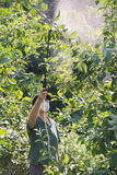 Pesticida de rociadura en árboles frutales fotos de archivo