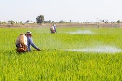 Pesticide de pulvérisation d'agriculteur dans le domaine de riz photographie stock libre de droits
