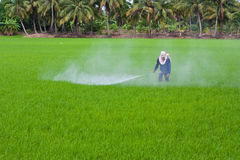 Pesticide on rice field. Farmer spraying pesticide on rice field stock images