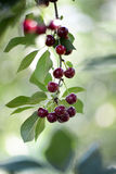 Pesticide sprayed sour cherries in a tree Stock Photography