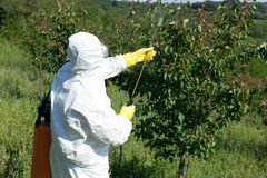 Pesticide spraying. Man spraying toxic pesticides or insecticides in fruit orchard stock images