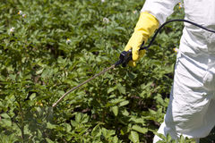 Pesticide spraying. Vegetables spraying with pesticides in a garden stock photo