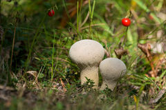 Pestle Puffball Royalty Free Stock Photography